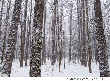 下雪的上高地落葉松森林 74496190