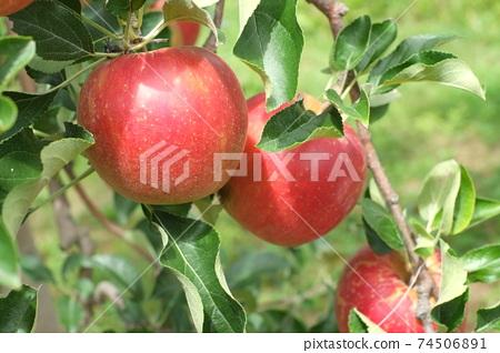 蓬鬆的紅蘋果 74506891
