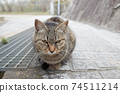 A stray cat of a pheasant sitting with its front legs aligned 74511214