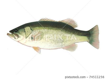 大嘴鱸魚 74511256