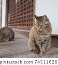 A stray cat of Kijitora sitting on the porch of a temple 74511620