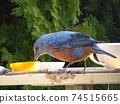 一隻藍色的男性鵝口瘡,來在餵食桌上吃橘子 74515665