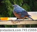 一隻藍色的男性鵝口瘡,來在餵食桌上吃橘子 74515666