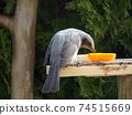 鱗莖啄橙在餵食桌上 74515669