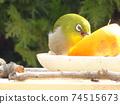 白眼啄橘子在一張可怕的臉的餵養桌上 74515673