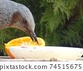 歌手在餵食桌上啄橘子的配置文件 74515675