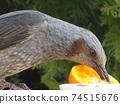歌手在餵食桌上啄橘子的配置文件 74515676