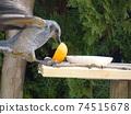 一隻bulb在翅膀上啄食橘子 74515678