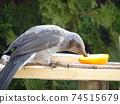 鱗莖啄橙在餵食桌上 74515679