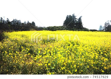 제주도.유채꽃이.봄꽃.노란색  74517929