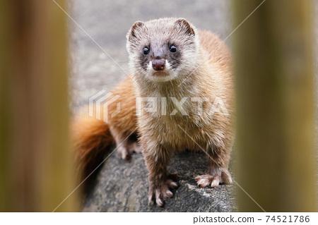 鼬鼠從籬笆的間隙 74521786