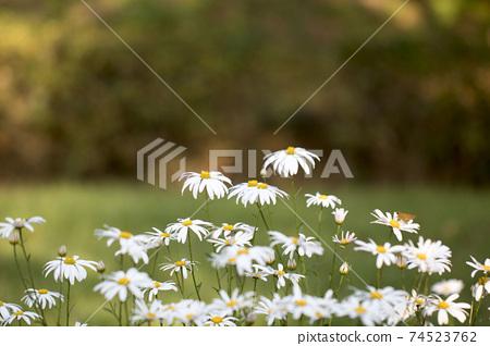 Korean chrysanthemum flowers of autumn 74523762