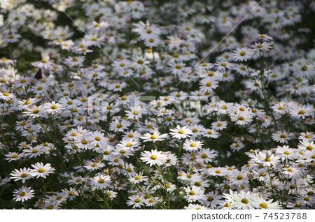 Korean chrysanthemum flowers of autumn 74523788