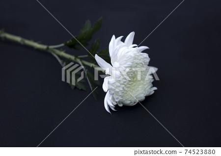 White chrysanthemum on a black background 74523880