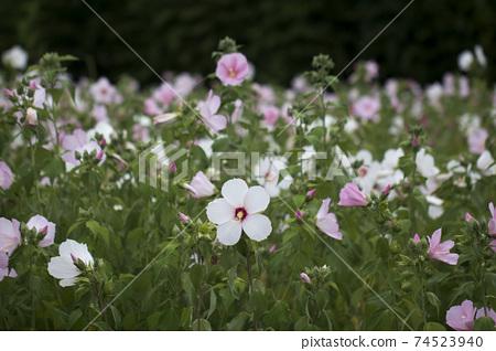 The beautiful Confederate rose 74523940