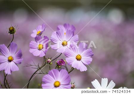 Beautiful cosmos flowers in the garden 74524334
