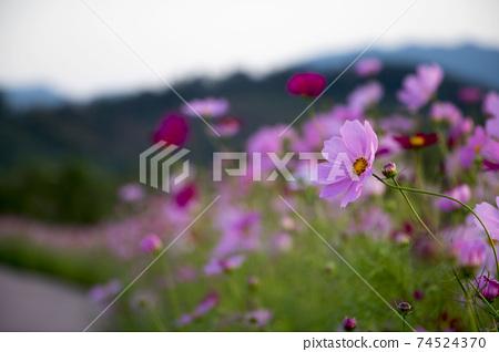 Beautiful cosmos flowers in the garden 74524370