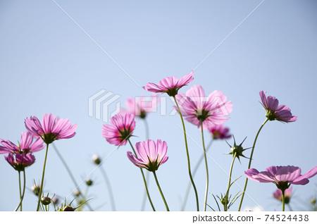 Beautiful cosmos flowers in the garden 74524438