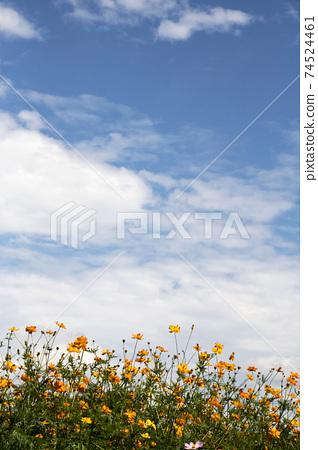 Beautiful cosmos flowers in the garden 74524461