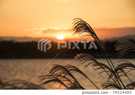 Reed flowers blowing in the wind 74524485