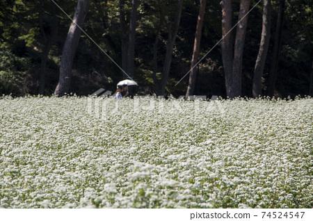 The beautiful buckwheat flowers in the field 74524547