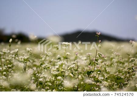 The beautiful buckwheat flowers in the field 74524570