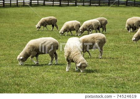 Herd sheep on a beautiful green meadow 74524619