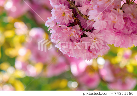 sakura blossom in sunlight. beautiful nature background in springtime. pink flowers in front of a blurry garden bokeh 74531366