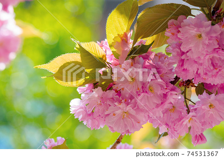 sakura blossom in sunlight. beautiful nature background in springtime. pink flowers in front of a blurry garden bokeh 74531367