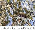 來勢洶洶的澤蟹的照片 74539916
