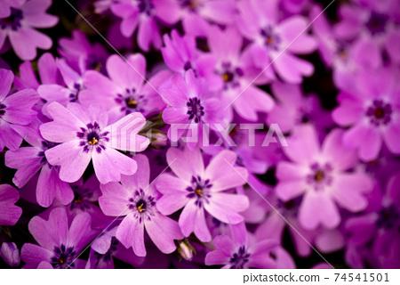 분홍색 꽃 군락 74541501
