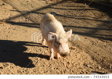 A pig approaching to get food at the ranch 74543653