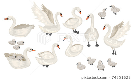 Set of different Swans. Cubs and adults. Lecturing, floating birds. Vector flat illustration. 74551625
