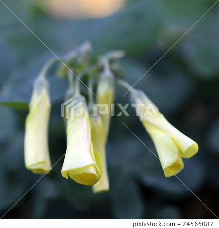 喇叭形花黃色花 74565087