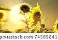 big beautiful sunflowers at sunset 74565841