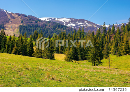 mountainous countryside in spring. rural fields and pastures in green grass. spruce forest on the rolling hills. distant alpine meadows of borzhava ridge in snow. sunny day in carpathians, ukraine 74567236