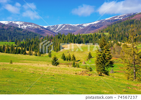 mountainous countryside in spring. rural fields and pastures in green grass. spruce forest on the rolling hills. distant alpine meadows of borzhava ridge in snow. sunny day in carpathians, ukraine 74567237