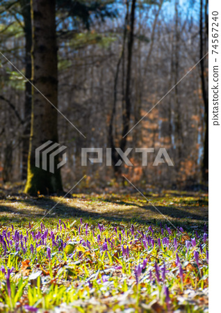 forest nature background in spring. crocus flowers on the glade. trees in the blurred distance. sunny weather 74567240