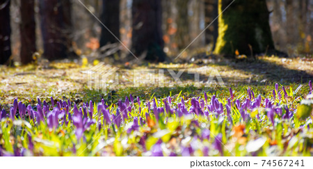 forest nature background in spring. crocus flowers on the glade. trees in the blurred distance. sunny weather 74567241