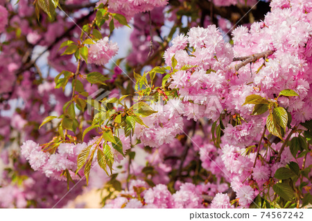 blooming pink flowers of sakura. cherry blossom season in springtime. close up nature background 74567242