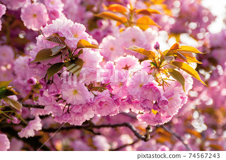 blooming pink flowers of sakura. cherry blossom season in springtime. close up nature background 74567243