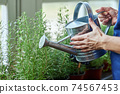 Selective focus on can in female hands watering rosemary 74567453