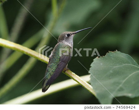 Female broad-tailed humor perched on sunflower stalk 74569424