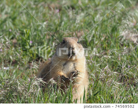 Up of Ogro Prairie Dogs grazing in the meadow 74569502