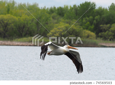 American white pelican flying over the lake 74569503
