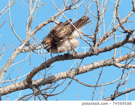Red-tailed hawk trying to fly off a branch 74569586
