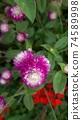 붉은 보라색 꽃 천일홍 74589998