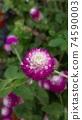 붉은 보라색 꽃 천일홍 74590003