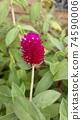 붉은 보라색 꽃 천일홍 74590006