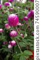 붉은 보라색 꽃 천일홍 74590007
